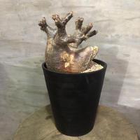 パキポディウム グラキリス 364  塊根植物 コーデックス 現地球