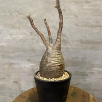 パキポディウム グラキリス 596 塊根植物 コーデックス マダガスカル現地球 送料着払い