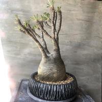 パキポディウム グラキリス 466  塊根植物 コーデックス マダガスカル現地球