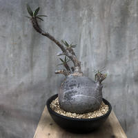 パキポディウム  グラキリス 507 塊根植物 コーデックス マダガスカル現地球