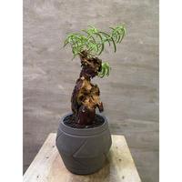 メストクレマ ツベローサム suptnik アローポットLサイズ 塊根植物 コーデックス 送料着払い