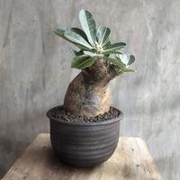 パキポディウム エブレネウム 11 塊根植物 コーデックス マダガスカル現地球