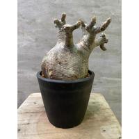 パキポディウム グラキリス 752 塊根植物 コーデックス 現地球 発送着払い
