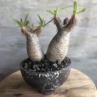パキポディウム グラキリス  2ヘッド 440 塊根植物 コーデックス