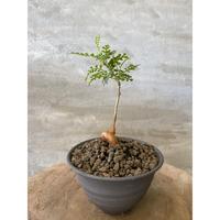 オペルクリカリア パキプス 実生株 73 塊根植物 コーデッデス 発送着払い