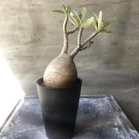 パキポディウム グラキリス 425  塊根植物 コーデックス マダガスカル現地球