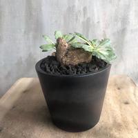 オトンナ ツベローサ 1 塊根植物 コーデックス 南アフリカ現地球