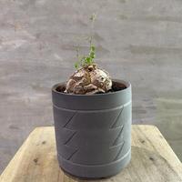 ディオスコレア エレファンティペス 亀甲竜  塊根植物 コーデックス  現地球 発送着払い