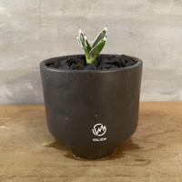 アガベ 笹の雪  valiem リュウゼツラン 塊根植物 コーデックス