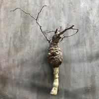 オペルクリカリア パキプス 2 多肉植物 塊根植物 コーデックス  マダガスカル 現地球