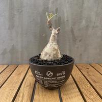 パキホディウム グラキリス × valiem 廃盤モデル 塊根植物 コーデックス  多肉植物 マダガスカル現地球