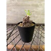オトンナ レトロルサ 6 多肉植物 塊根植物 コーデックス  南アフリカ 現地球