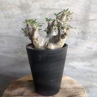 パキポディウム ホロンベンセ 50  塊根植物 コーデックス 現地球
