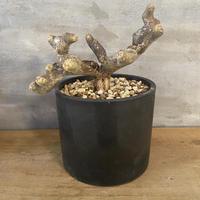 モンソニア ムルチフィダ 4番 現地新着株 塊根植物 コーデックス 冬型植物