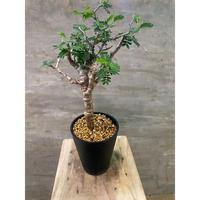 センナ メディオナリス 発根済 灌木 潅木 塊根植物 送料着払