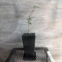 オペルクリカリア パキプス 実生株 52 塊根植物 コーデックス