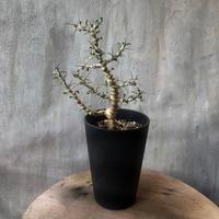 モンソニア(サルコカウロン) カンデボエンシス 塊根植物 コーデックス 南アフリカ現地球