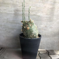 アデニア グロボーサ 1 塊根植物 コーデックス  多肉植物