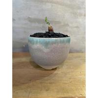 オペルクリカリア パキプス 根挿し 塊根植物 コーデックス 多肉植物