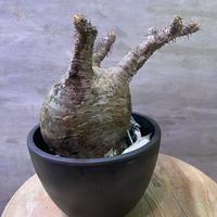 パキポディウム グラキリス 19 塊根植物 コーデックス  現地球  発送着払い