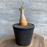 ブーファン ハエマンサス5 ケープバルブ 球根植物 多肉植物 塊根植物 コーデックス 送料着払