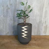 センナ メディオナリス × valiem ブロック high Sサイズ 塊根植物 コーデックス 多肉植物