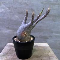 パキポディウム  グラキリス 750 塊根植物 コーデックス 送料着払い