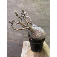パキポディウム グラキリス 714 塊根植物 コーデックス 現地球 発送着払い