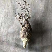 オペルクリカリア パキプス 抜き苗 10 多肉植物 塊根植物 コーデックス 現地株