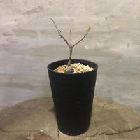 オペルクリカリア パキプス 実生株 24 塊根植物 コーデックス