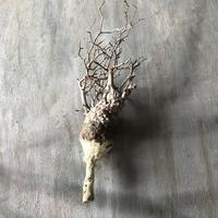 オペルクリカリア パキプス 抜き苗 11 多肉植物 塊根植物 コーデックス 現地株