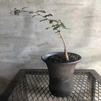 オペルクリカリア パキプス 実生株 50 塊根植物 コーデックス