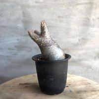 パキポディウム グラキリス  383 塊根植物 コーデックス 現地球
