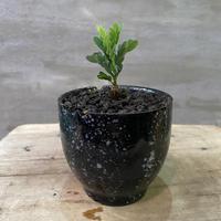 センナ メディオナリス 実生 suptnik  塊根植物 コーデックス  現地球  発送着払い