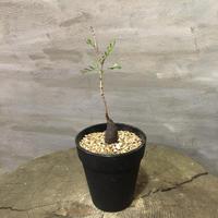 オペルクリカリア パキプス 実生株 9 塊根植物 コーデックス 現地球