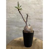 パキホディウム グラキリス 2 塊根植物 コーデックス マダガスカル現地球