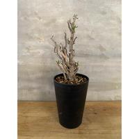 チレコドン ブッコルジアヌス 1番 現地新着株 塊根植物 コーデックス 冬型植物