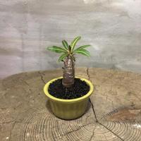 パキポディウム  カクチペス 11 実生 塊根植物 コーデックス