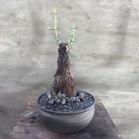 メストクレマ ツベローサム 3 塊根植物 コーデックス 南アフリカ現地球