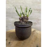 オトンナ  レトロルサ 南アフリカ現地球 信楽鉢  塊根植物 コーデックス 冬型植物