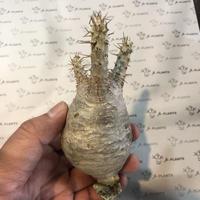 パキポディウム カクチペス 3 多肉植物 塊根植物 コーデックス 現地株