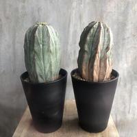 ユーフォルビア オベサ 4.5 多肉植物 塊根植物 コーデックス マダガスカル現地球
