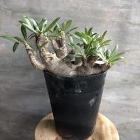 パキポディウム マカイエンセ×ホロンベンセ 10 塊根植物 コーデックス マダガスカル現地球