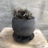 オトンナ ユーフォルビオイデス 11 黒鬼城 塊根植物 コーデックス 南アフリカ現地球