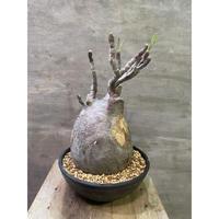 パキポディウム グラキリス 705  塊根植物 コーデックス マダガスカル現地球 発送着払い