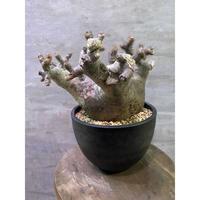 パキポディウム グラキリス  塊根植物 コーデックス 現地球 発送着払い