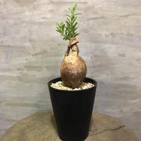 パキポディウム ビスピノーサム 2 塊根植物 コーデックス 現地球