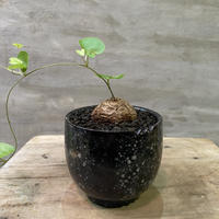 ディオスコレア エレファンティペス 亀甲竜  実生株 Sサイズ 塊根植物 コーデックス  送料着払い