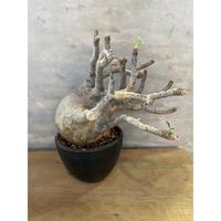 パキポディウム グラキリス 98番 塊根植物 コーデックス 現地球