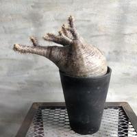 パキポディウム グラキリス  414 塊根植物 コーデックス マダガスカル現地球